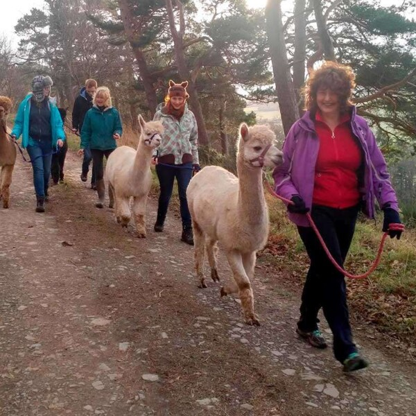 walking_with_alpacas_at_velvet_hall_farm_in_the_scottish_borders.jpg